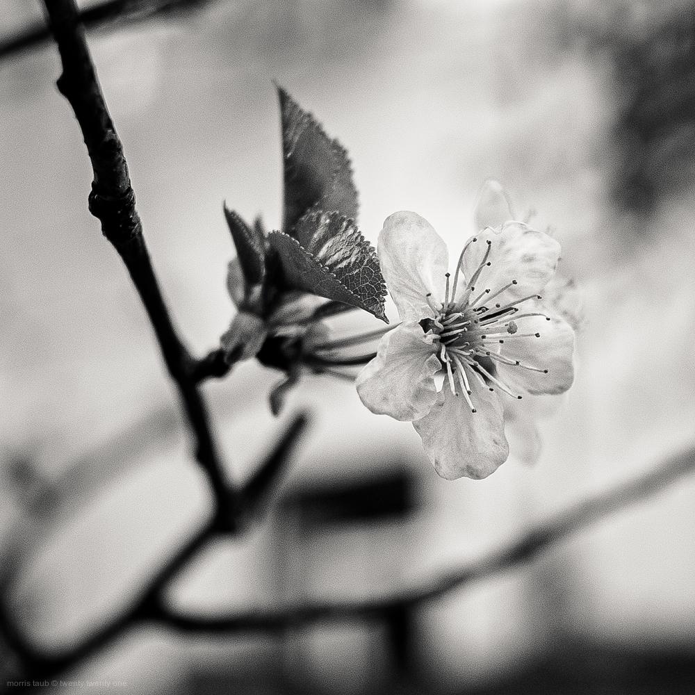 Cherry tree in my garden.
