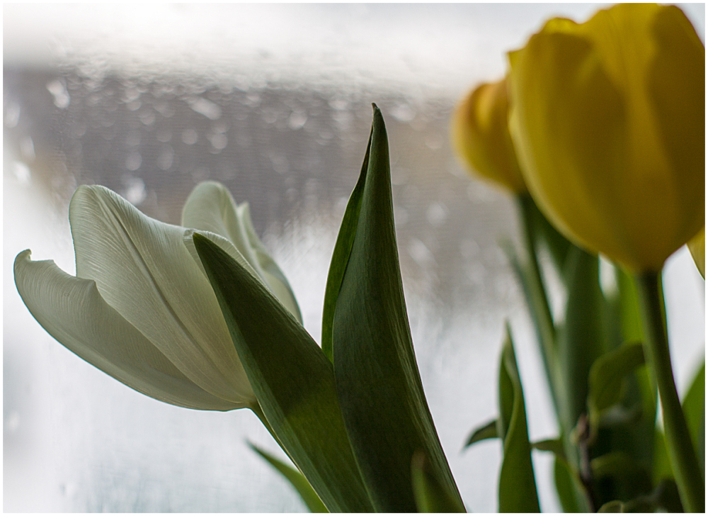 Tulips on a wet day