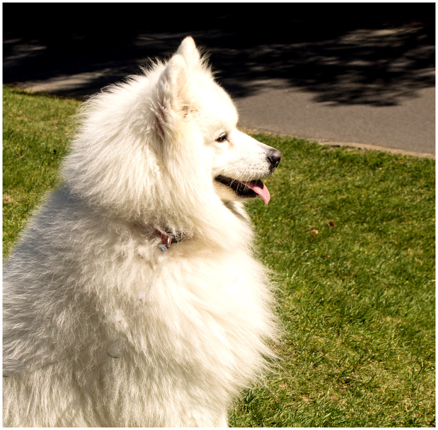 Samoyed profile