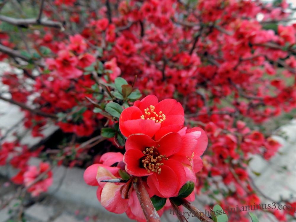 گل بهاری ....