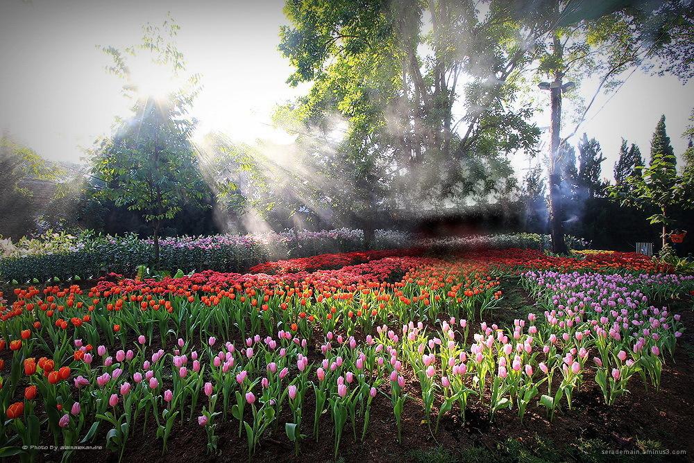 Tulip Thailand serademain