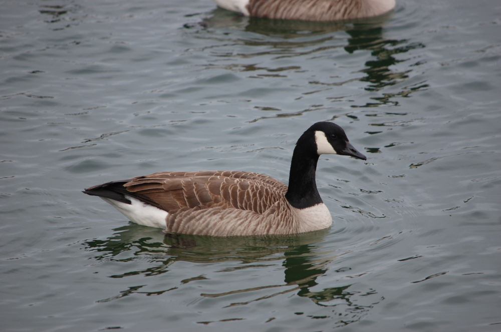 Canadian geese in the lake