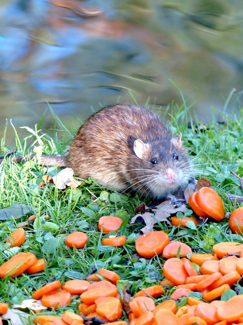 Mange-carotte