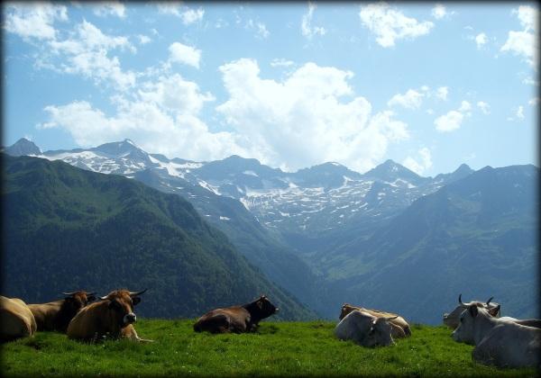 vacas (francesas...)
