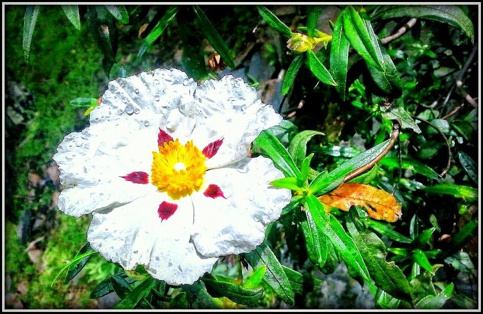 la flor de la jara