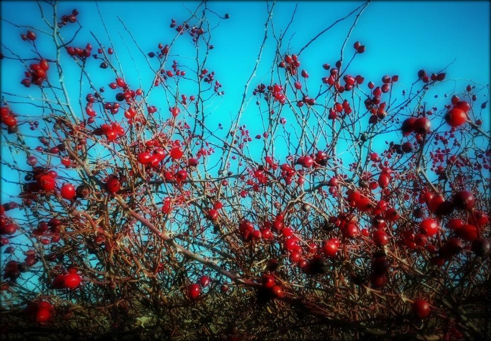 rosal salvaje