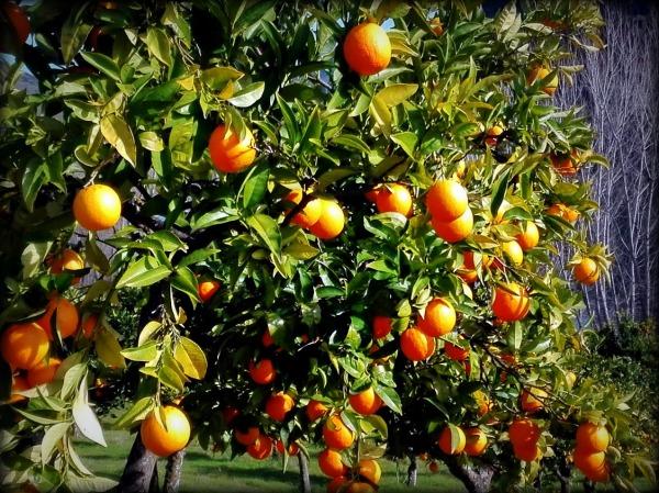 naranjas...