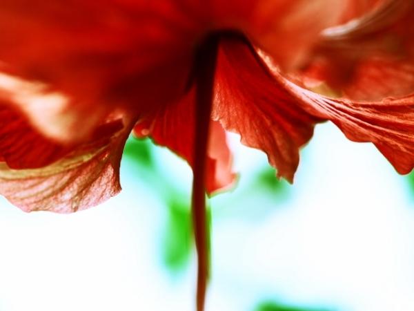 Melting Hibiscus