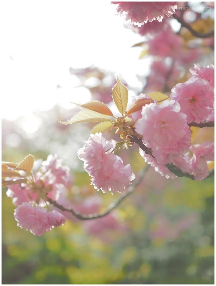 八重桜~朝の光の中で