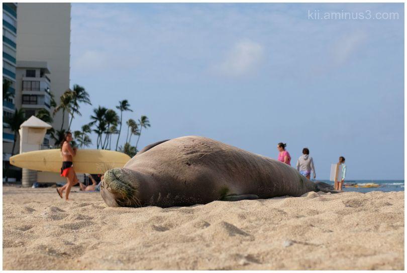 Hawaiian Monk Seal at the beach
