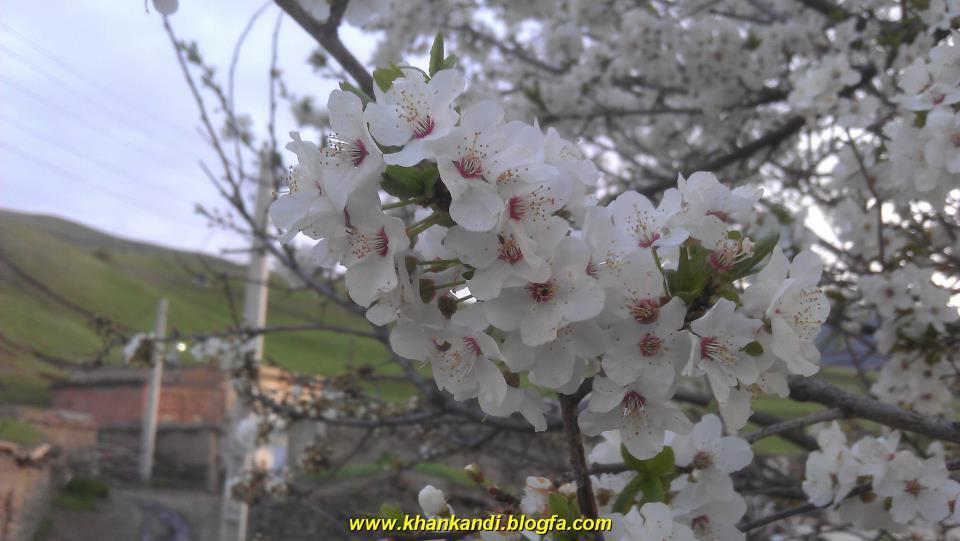 شكوفه ها,بهار,درختان ,خان كندي