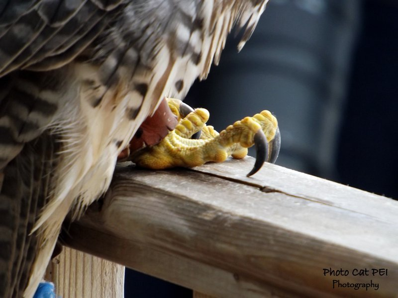 PEI Falconry- Falcon