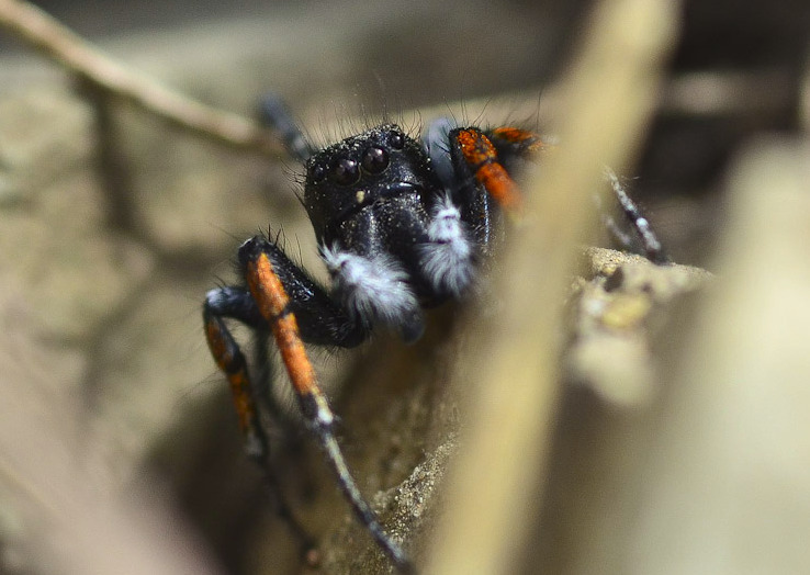 jumper spider on rock