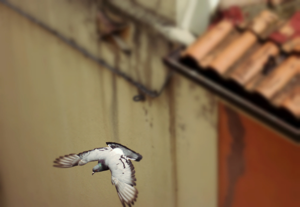 pigeon vole !