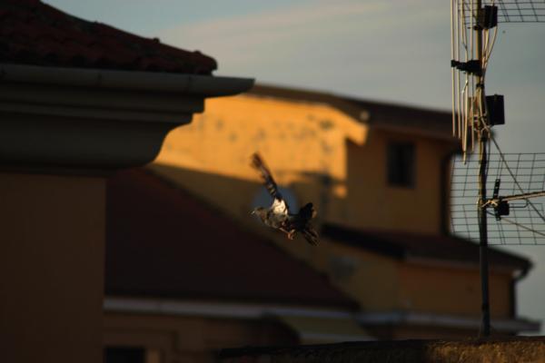 pigeon du soir