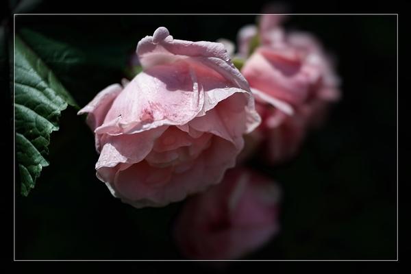 les vieilles belles du jardin