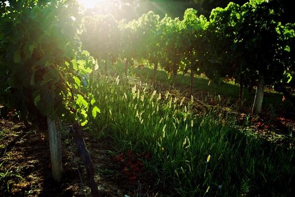 fin de journée dans les vignes