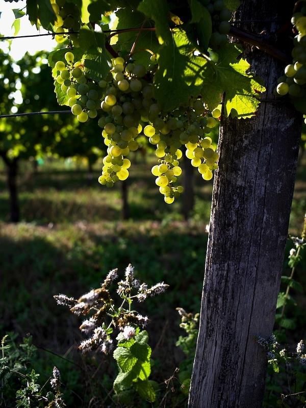 entre raisins et menthe sauvage