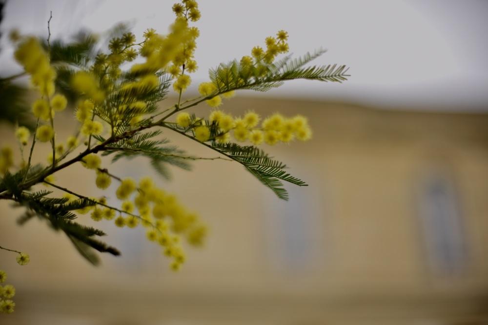 derniers mimosas