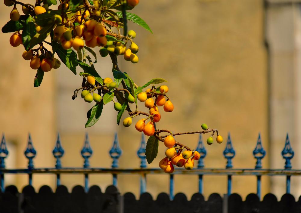 les dernières nèfles du jardin