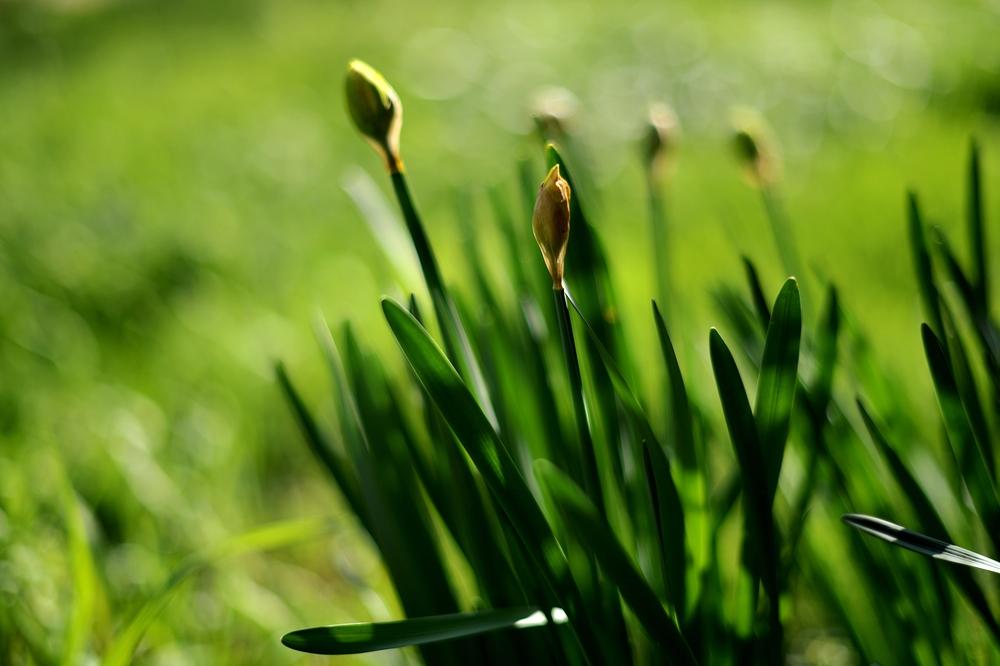 entrée en scène des tulipes