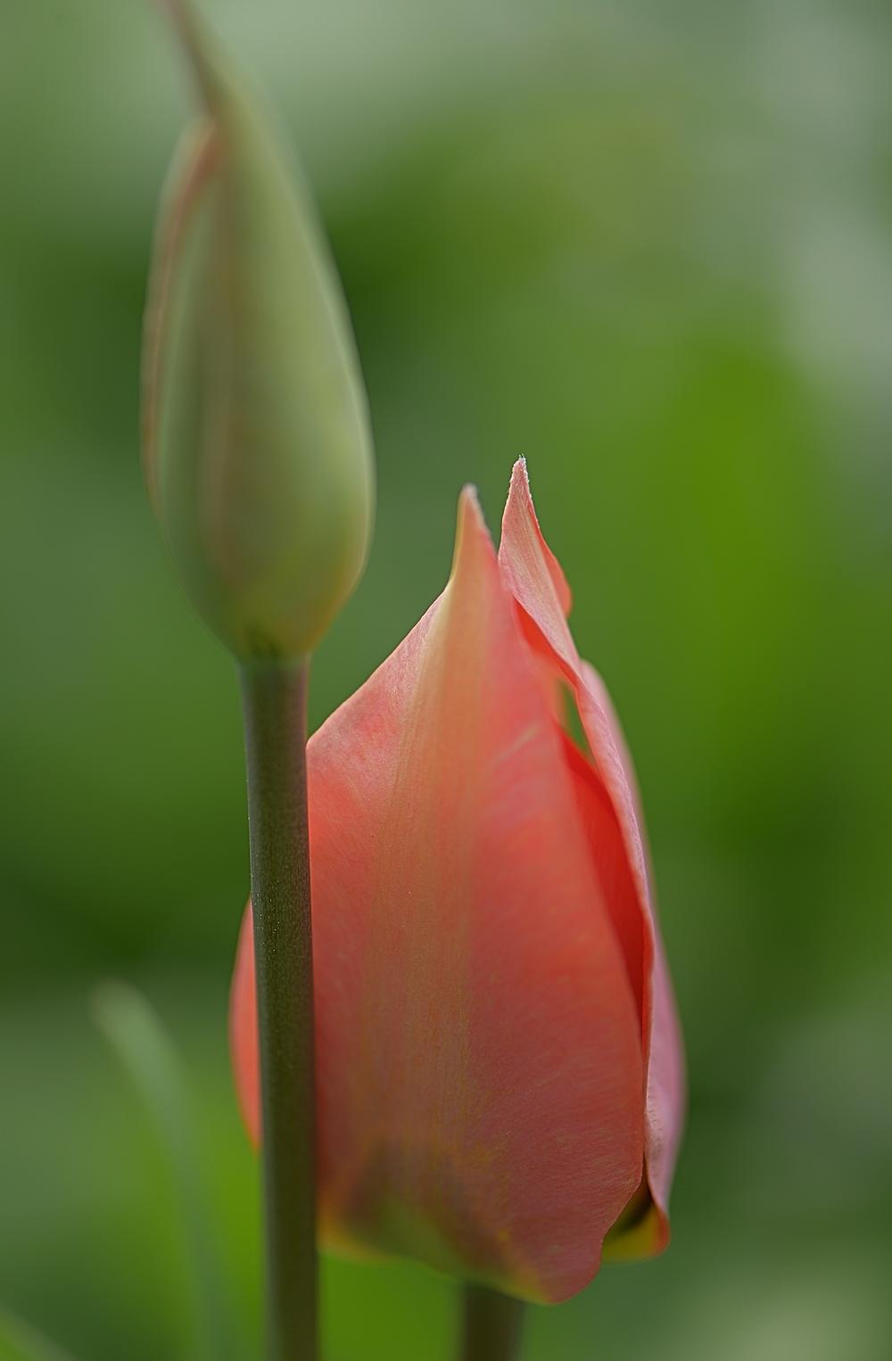 l'important c'est la tulipe