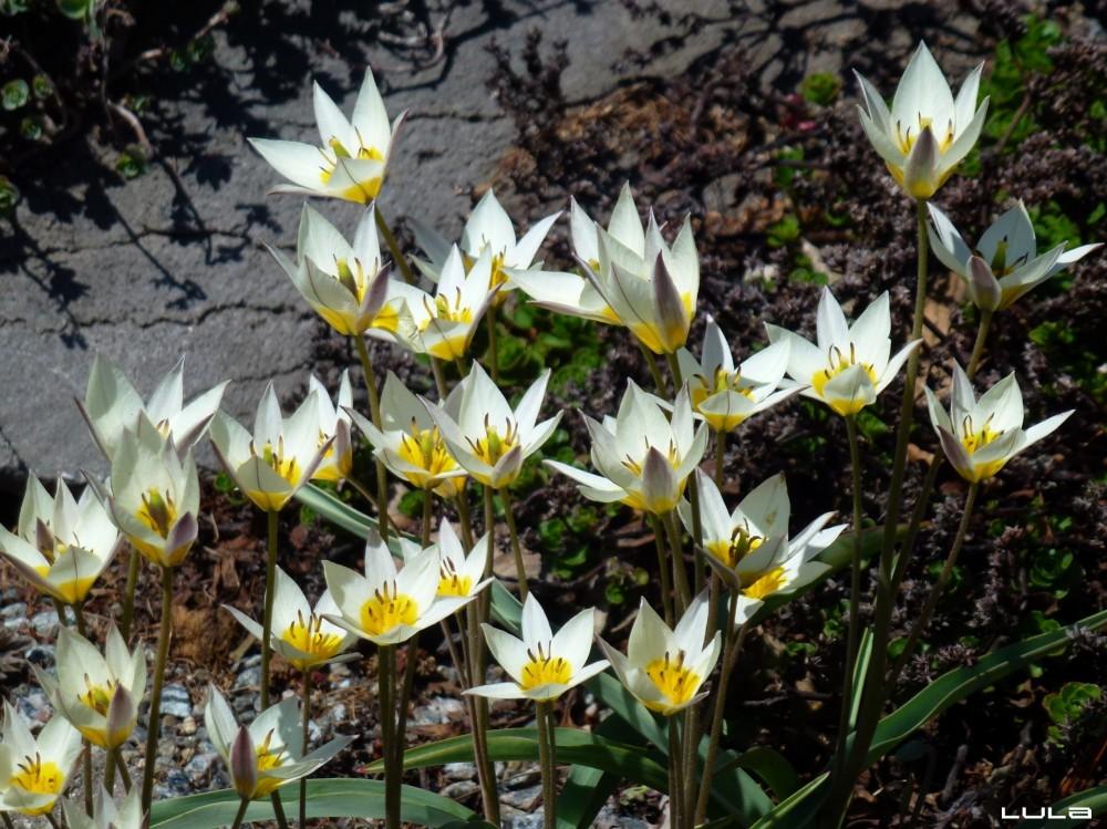 tulipes de Turquie