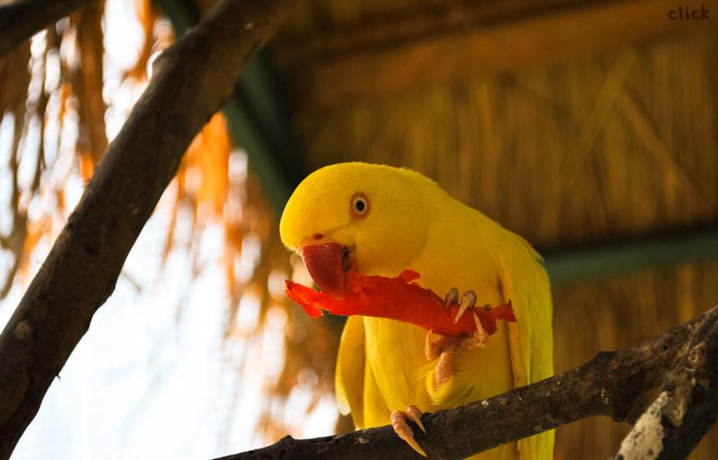 Yellow Bird Parrot