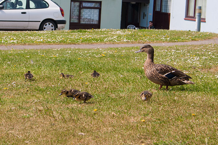 The resident ducklings.
