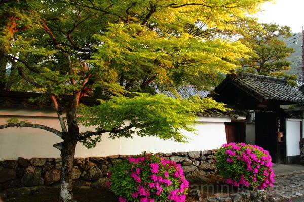 Azalea in Tenryuji Temple