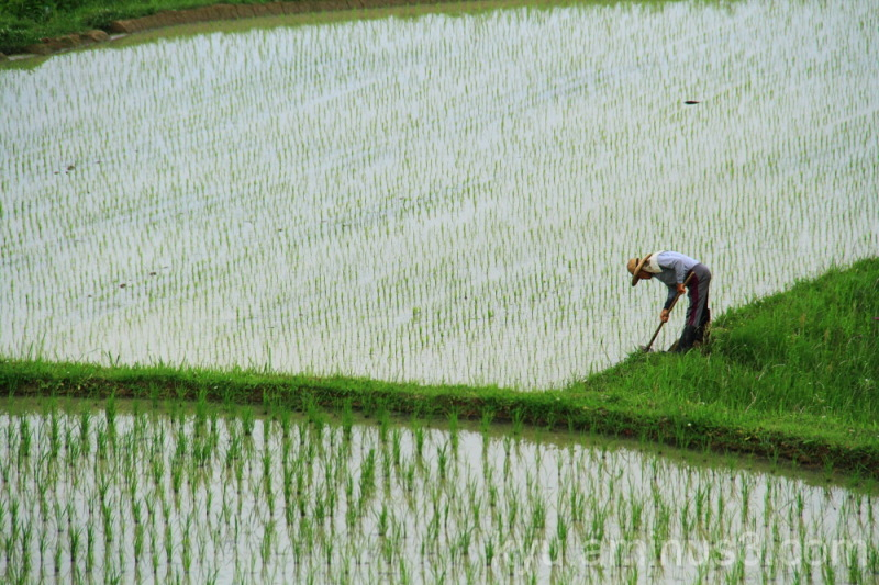 Terraced rice paddy