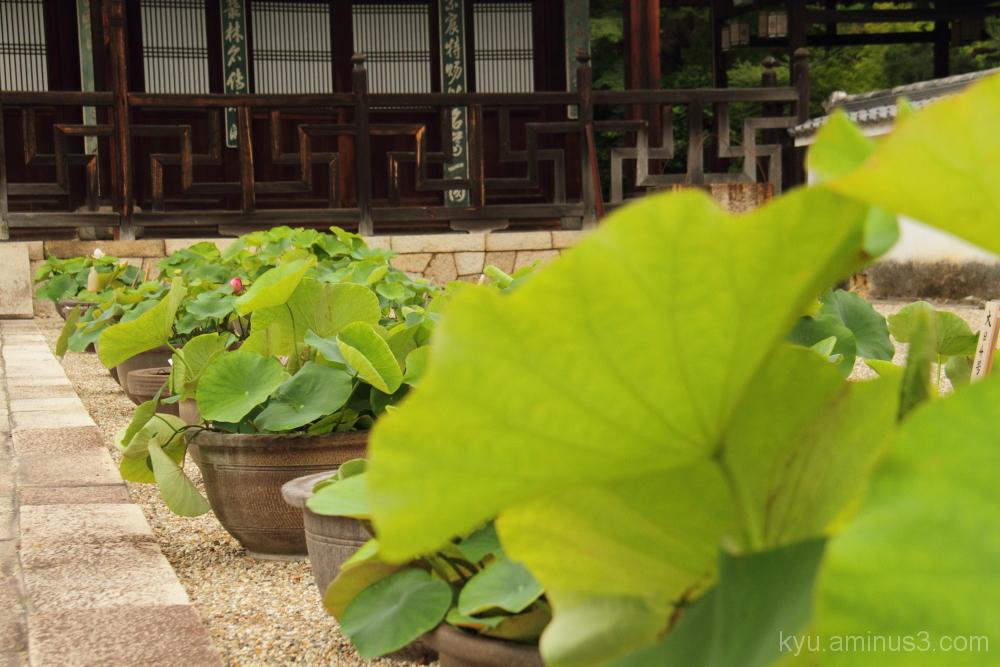 lotus pots in a line