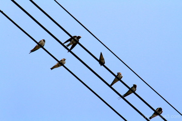 Swallow on the power wire