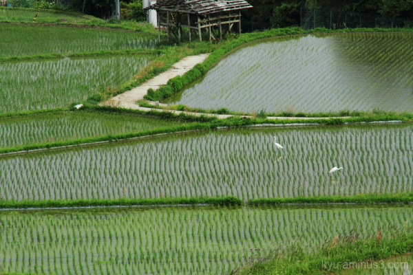 Herons in the rice paddy
