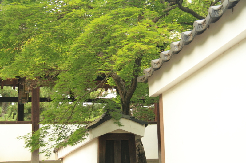 Green maple in Manpukuji Temple