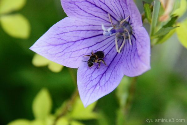 bee in a bellflower