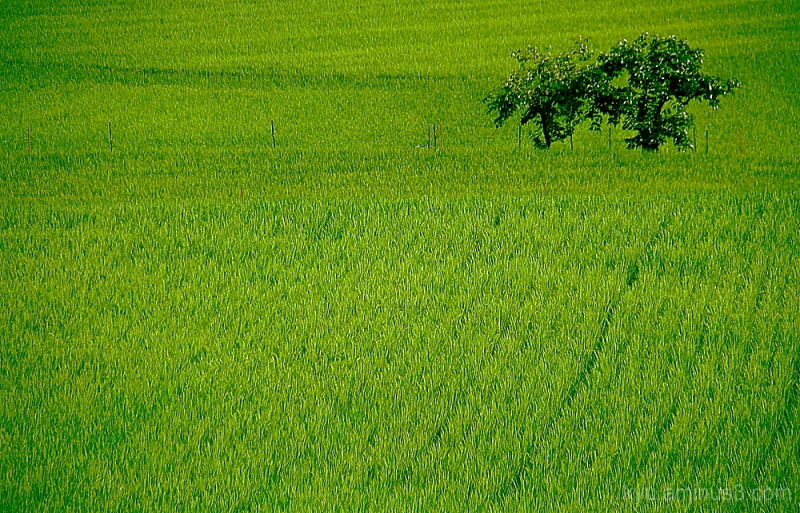 waves on the rice paddy