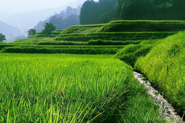 Terraced rice paddy #1