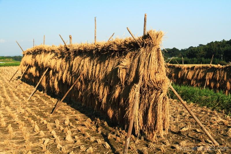 Postharvest rice paddy