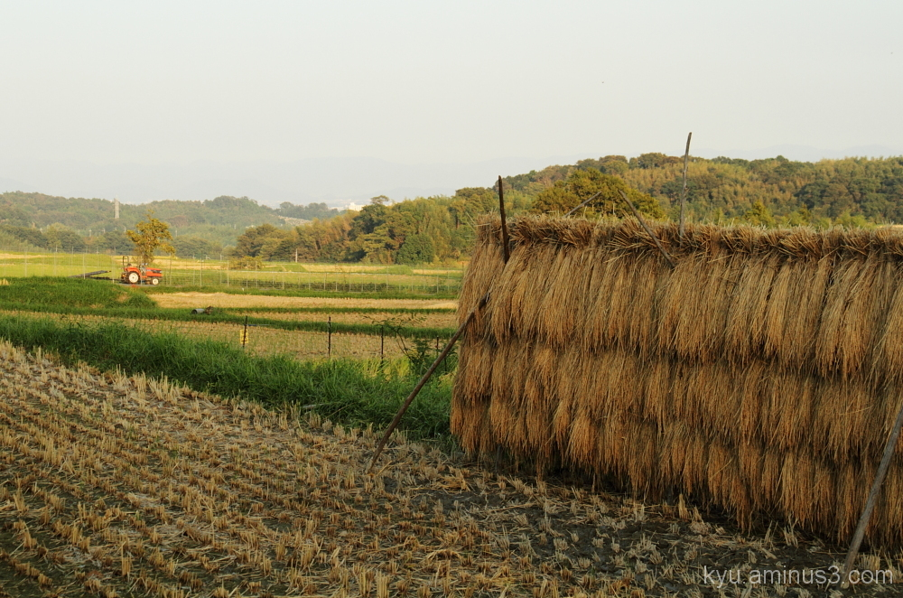 Terraced rice paddy in autumn