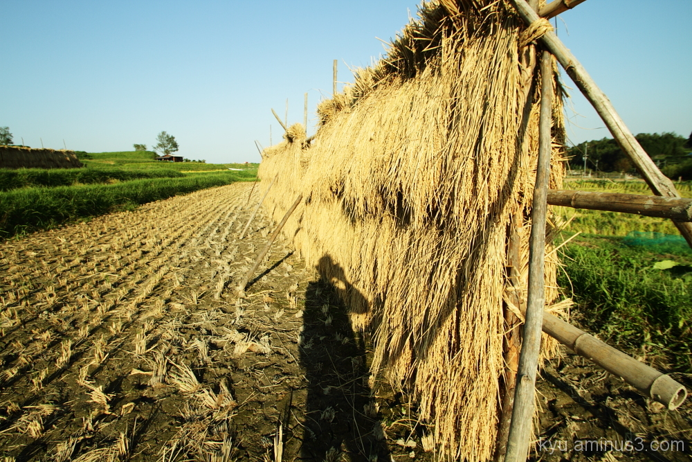 Shadow on the rice paddy