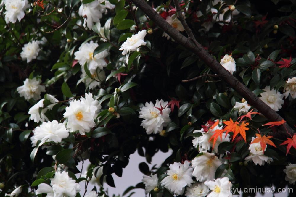 Camellia & maple