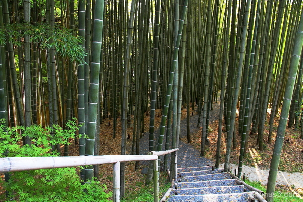 Trail through bamboos
