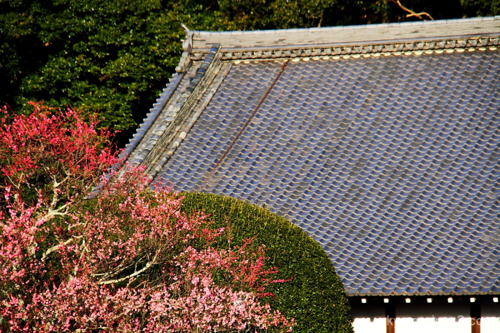 Plum blossoms beside the roof