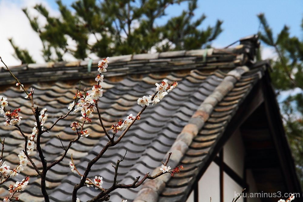 Plum blossoms near the roof in the temple
