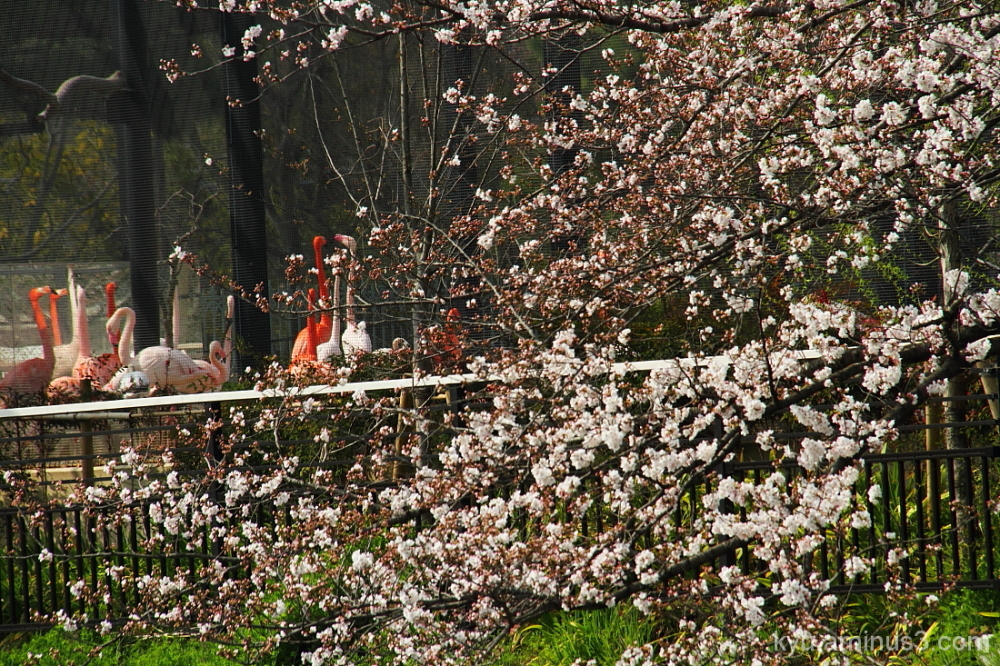 Flamingoes framed by cherry blossoms