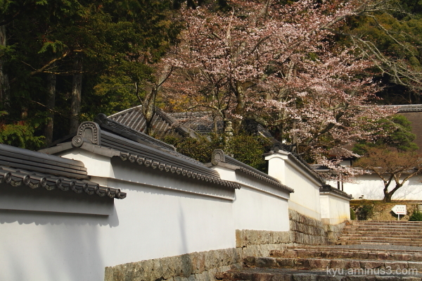 Cherry blossoms by the wall