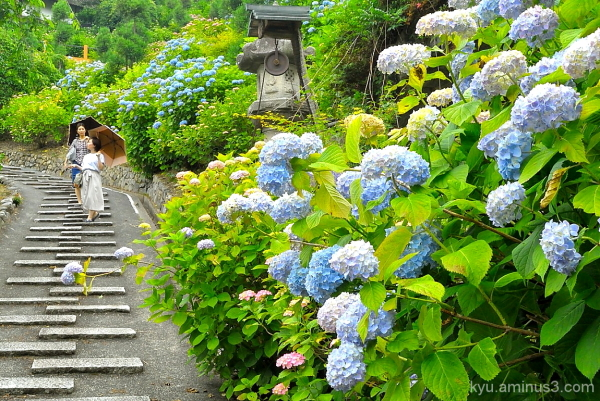 Enjoying a walk by full-bloom hydrangea flowers