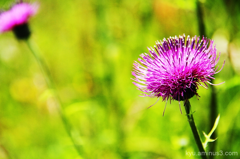 Thistle in the field