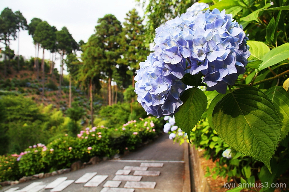 Hydrangea by the path